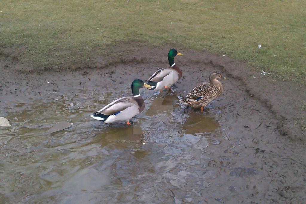 Quack by canadianpolarbear1