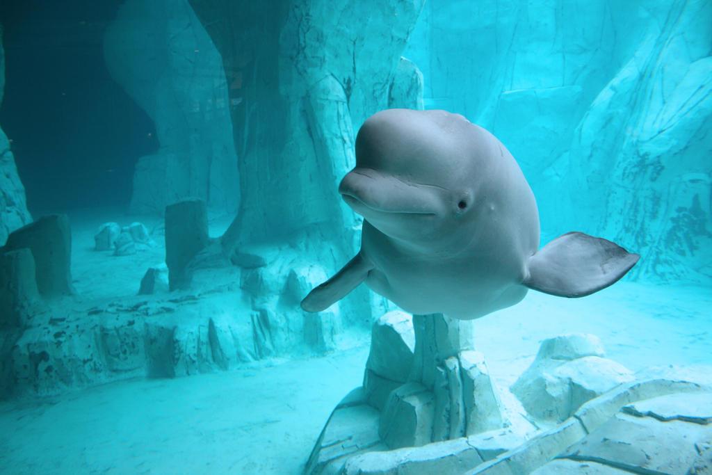 Beluga whales wallpaper - photo#15