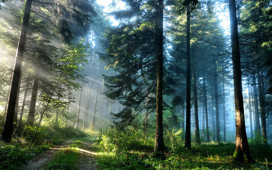 Pine forest path by kizo2703