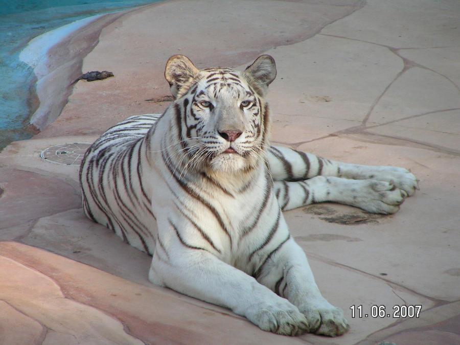 White Tigress 12 by UngesehenSoldatStock on DeviantArt