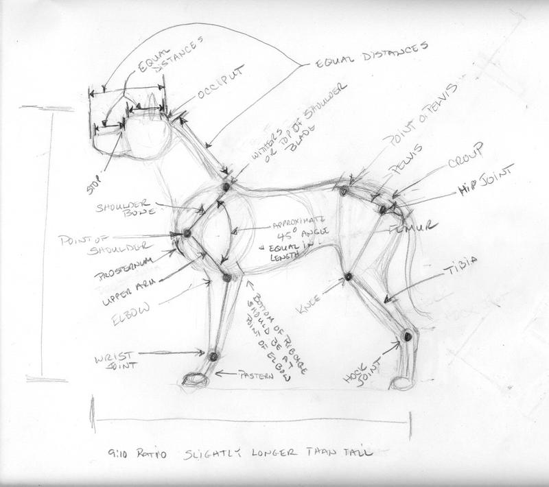 Canine Anatomy Reference by celestriastars on DeviantArt