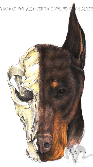 Dobermann HeadShot