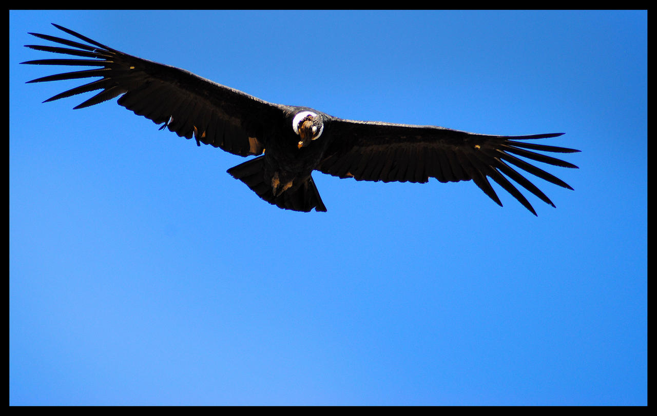 Andean Condor by GonBo