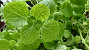 This is Mexican mint/Cuban Oregano
