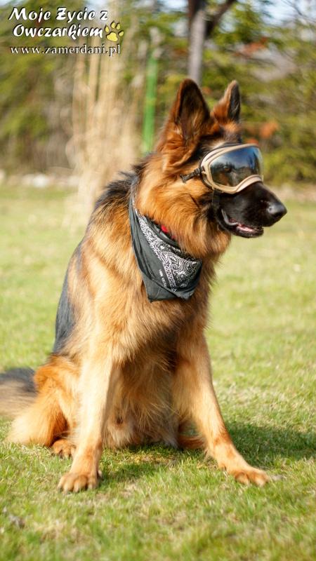 german-shepherd-857106_960_720