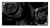 black roses 1 by black--crown
