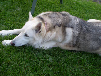 husky-shepard rescued dog by Black-Feather