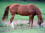 American Quarter Horse Lance by Black-Feather