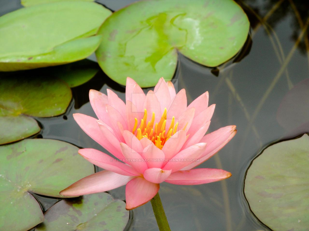 Lotus Flower Austin Botanical Gardens Tx By