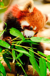 Red Panda II by Andross01