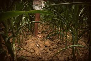 corn field by givepeaceeachance
