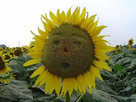Sunflower Stare
