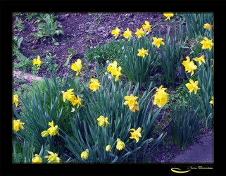 Daffodils for Everyone