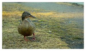 Aulanko: Duck by musilowski