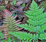 Coloured Ferns