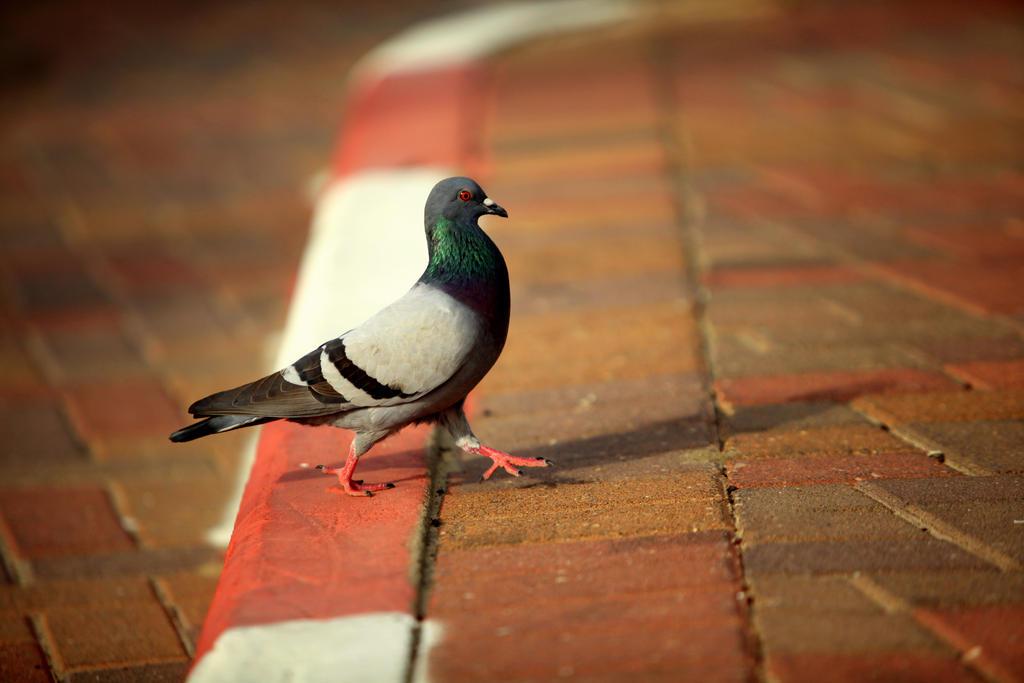 Elegant Pigeon by YoniKs