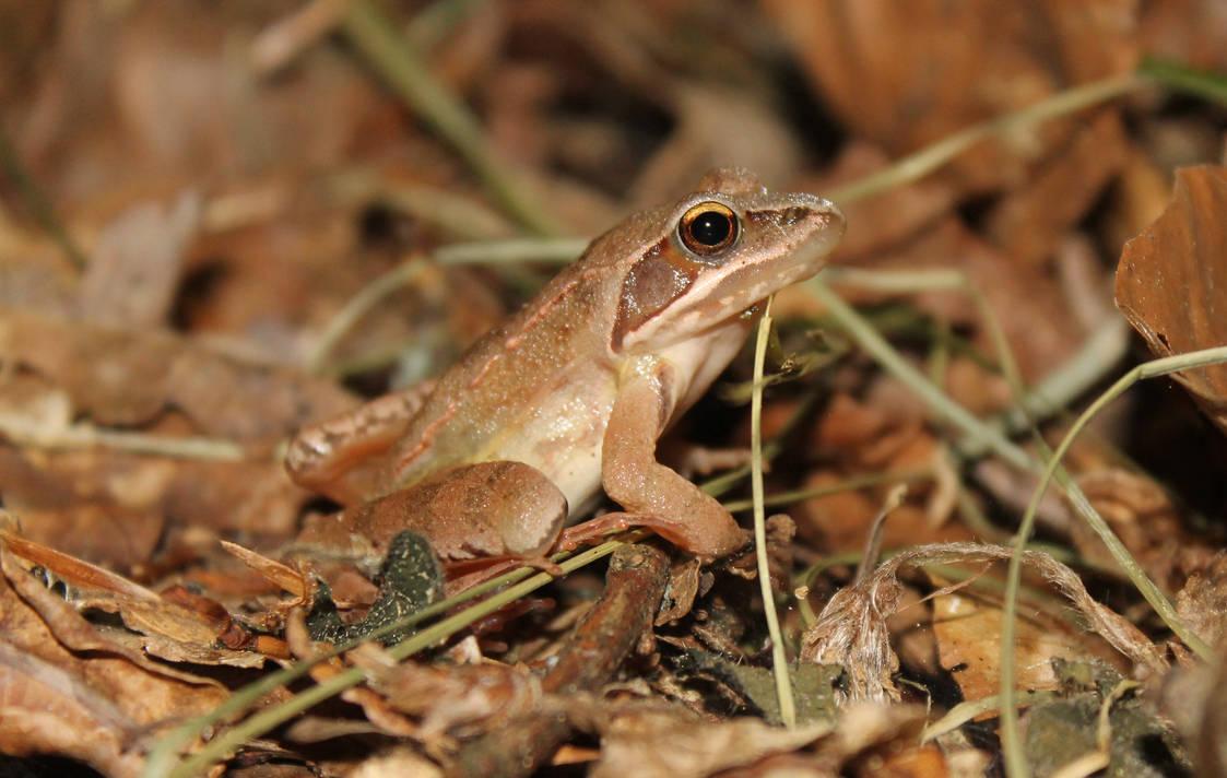 Rana dalmatina frog by Tarquinius-Superbus