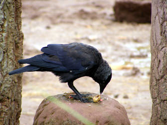 The jackdaw and the peanut by LeORaven