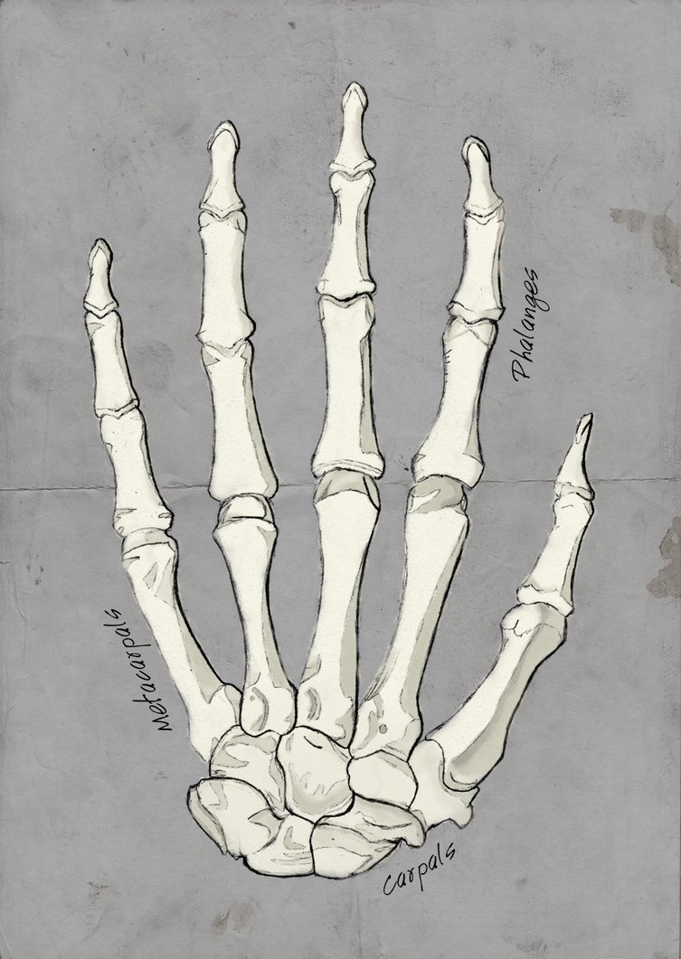 Bones of the Human Hand by Sarahorsomeone on DeviantArt
