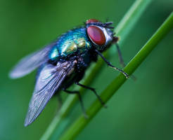 Fly Portrait by Sarahorsomeone