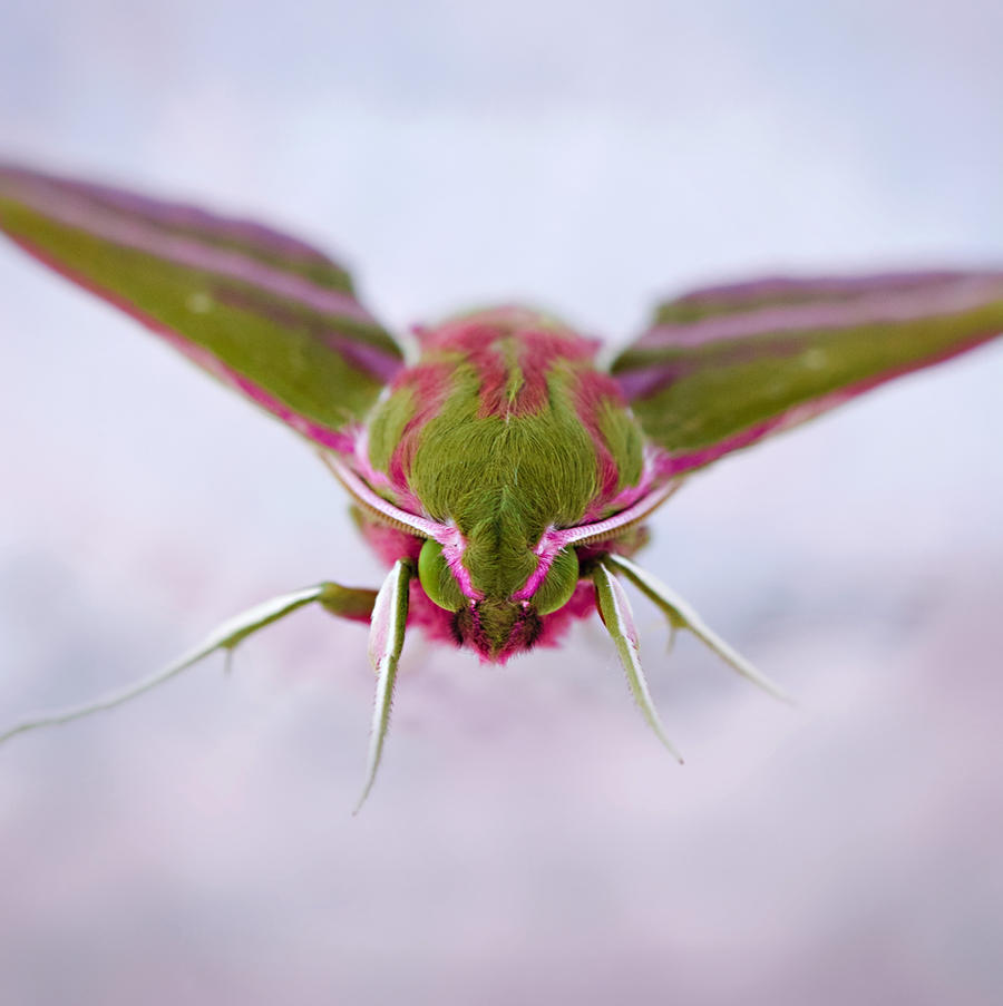 Elephant Hawk Moth Portrait by Sarahorsomeone