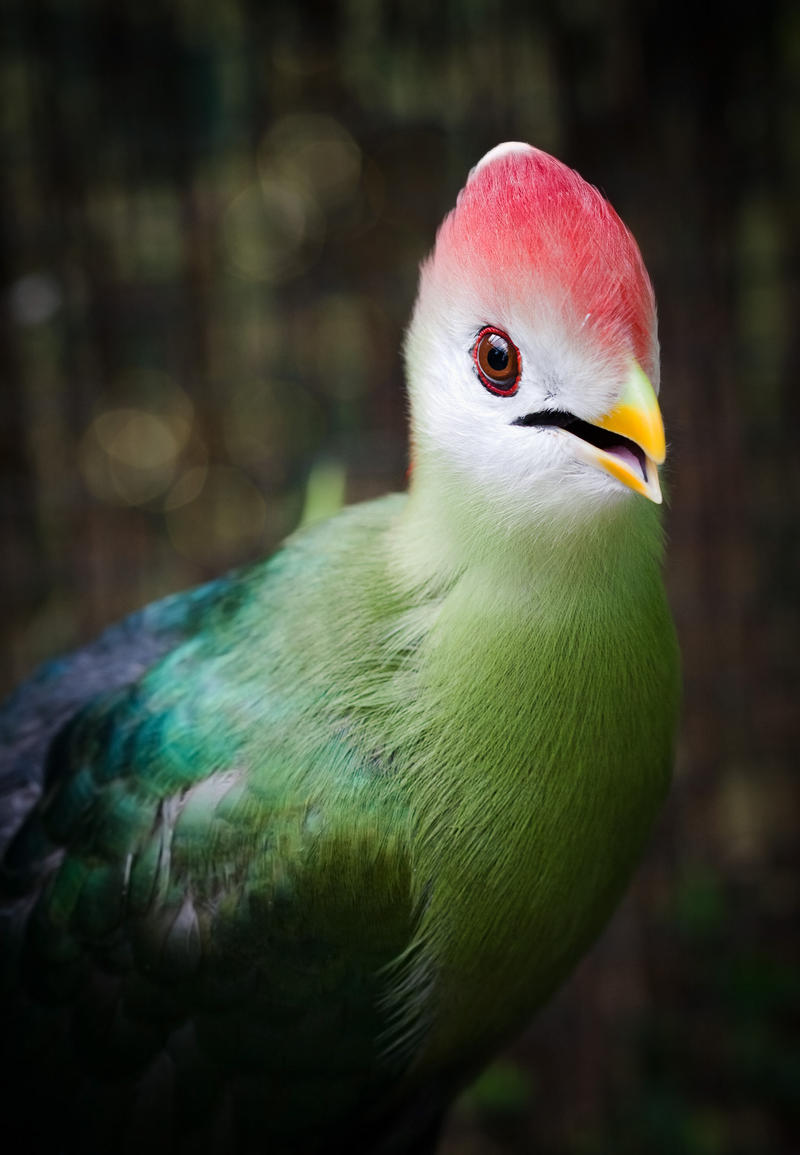 Red-crested Turaco by Sarahorsomeone