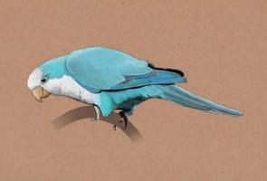 Blue Quaker Parrot by Sarahorsomeone