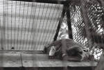 Sleepy Mr. Bear-cat