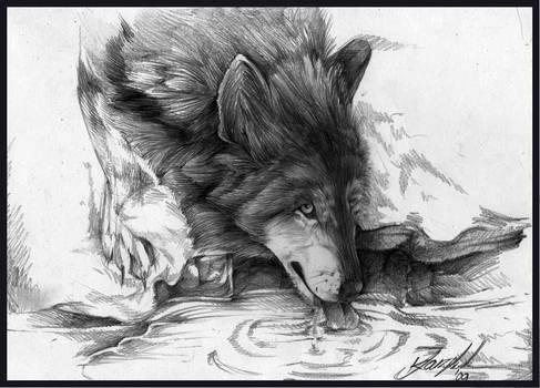 Drinking Wolf