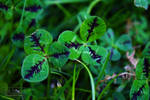 Striped clover by FalconFeatherTheCat