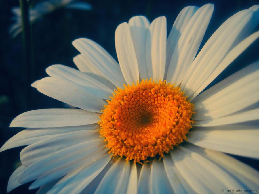 The Daisy. by Sparkle-Photography