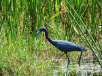 Tri-Colored Heron II. by Sparkle-Photography