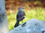 MockingBird. by Sparkle-Photography