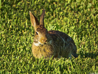 Marsh Hare II by Sparkle-Photography