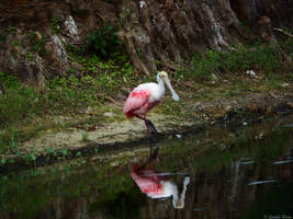 Roseate Spoonbill. by Sparkle-Photography