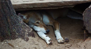 Resting Red Wolf.