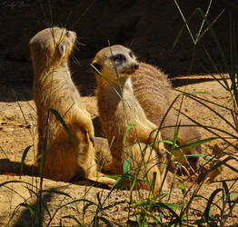 Meerkats. by Sparkle-Photography
