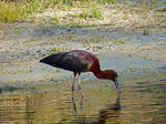 Glossy Ibis.