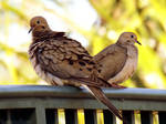 Pair of Mourning Doves. by Sparkle-Photography