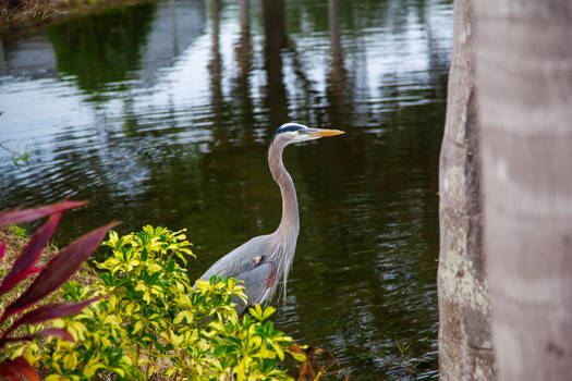 Side View - Great Blue Heron.