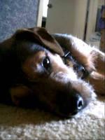 Puppy by girzer