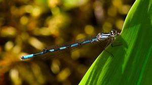 Blue dragonfly on a leaf