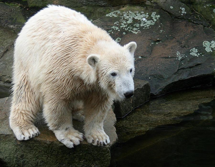polar bear Knut 1