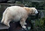 polar bear Knut 2