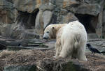 polar bear Knut 6