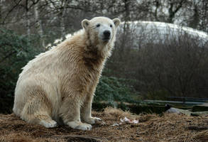 polar bear Knut 9 by Drezdany-stocks