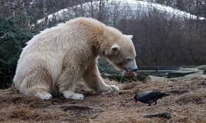 polar bear Knut 10