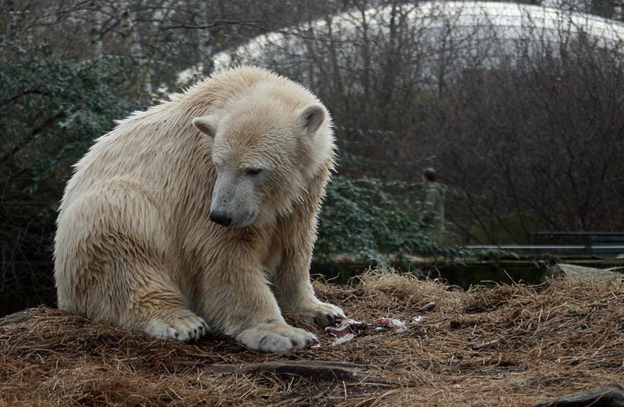 polar bear Knut 11 by Drezdany-stocks