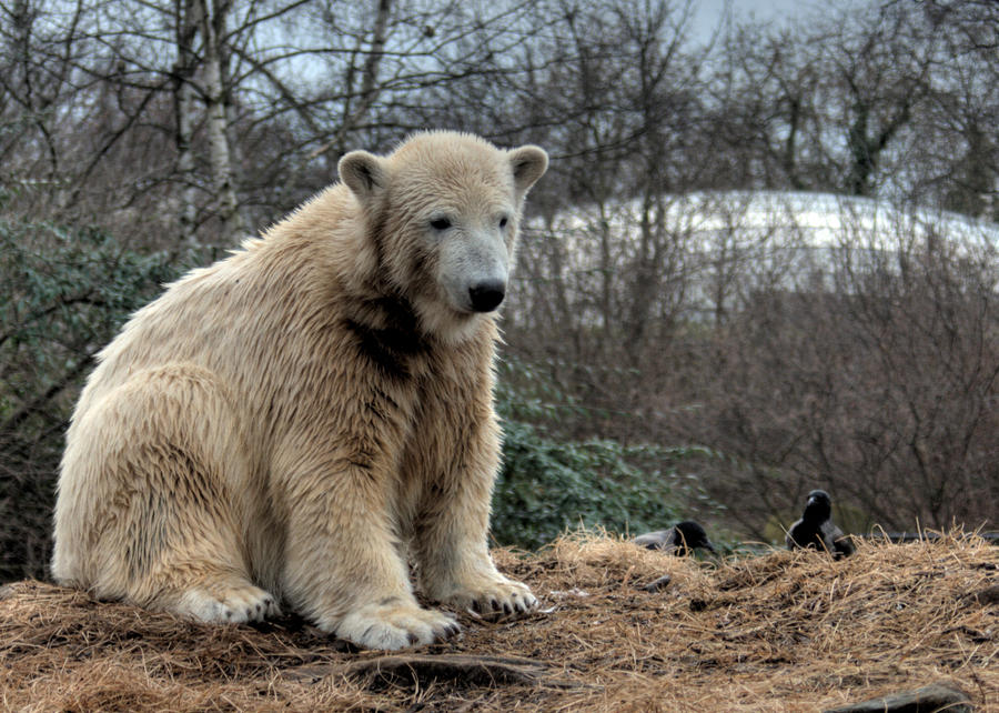 polar bear Knut 12 by Drezdany-stocks