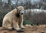 polar bear Knut 12